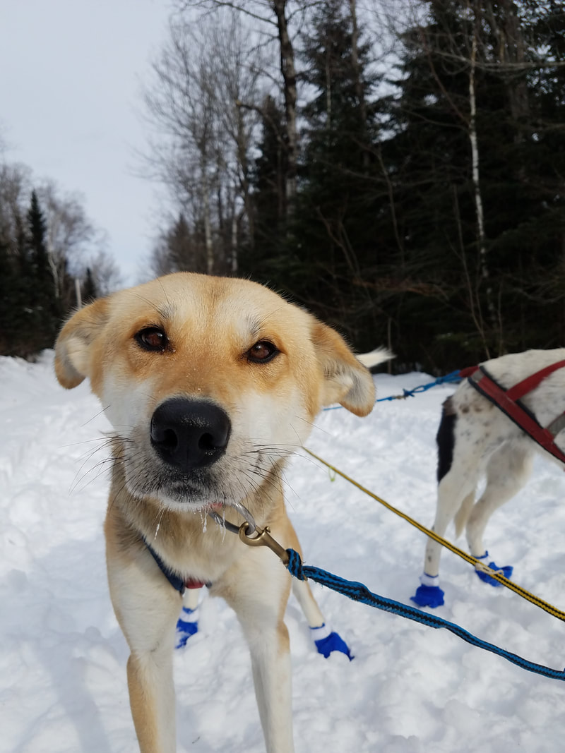 Ashley & Mark PattersonLone Wolf Kennel ~Shirley, Maine - Dogs 4 Sale